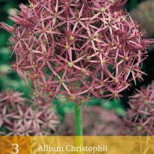 allium-christophii_448_1.jpg