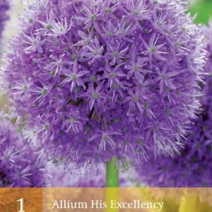 allium-his-excellency_451_1.jpg