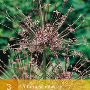 allium-schubertii_455_1.jpg