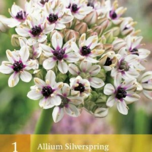 allium-silverspring_2473_1.jpg