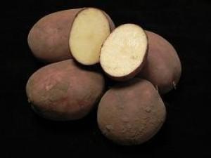 biologische-pootaardappelen-texla_2683_1.jpg