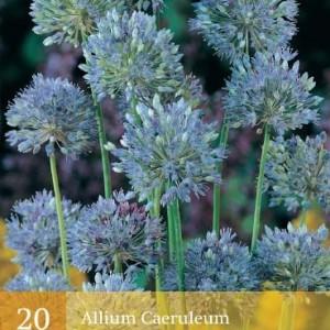 allium-caeruleum_447_1.jpg