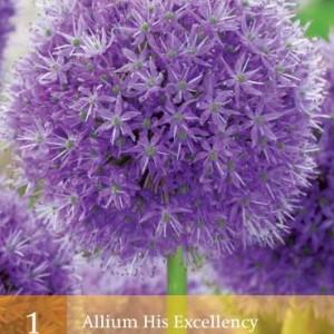 allium-his-excellency_451_1.jpg