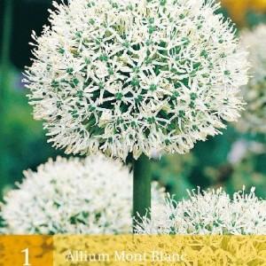 allium-mont-blanc_452_1.jpg
