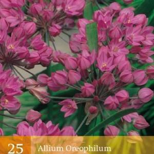 allium-oreophilum_453_1.jpg