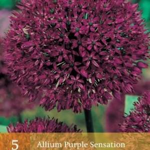 allium-purple-sensation_454_1.jpg