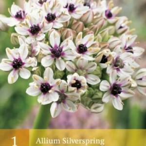 allium-silverspring_2473_1.jpg