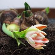 amaryllis-apple-blossom-los-verp_1302_2.jpg