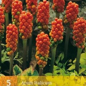 arum-italicum_472_1.jpg