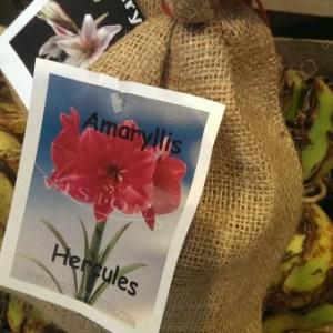 cadeauverpakking-amaryllis_2792_1.jpg
