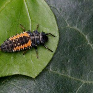 larven-van-lieveheersbeestjes-100-st_155_1.jpg