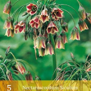 nectaroscordum-siculum_523_1.jpg