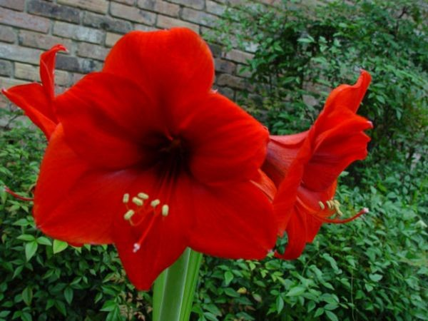 Amaryllis red lion amaryllis bloembollen kopen for Planter des amaryllis