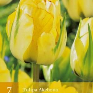 tulp-akebono_2479_1.jpg