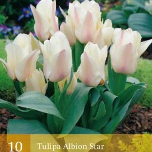 tulp-albion-star_2250_1.jpg
